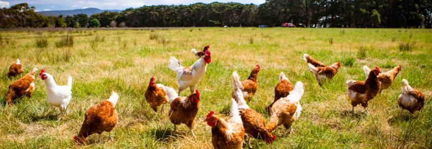 engagement-convivio-suppression-oeufs-poules-cage